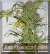 Short Stuff snowryder cheap automatic regular cannabis seeds